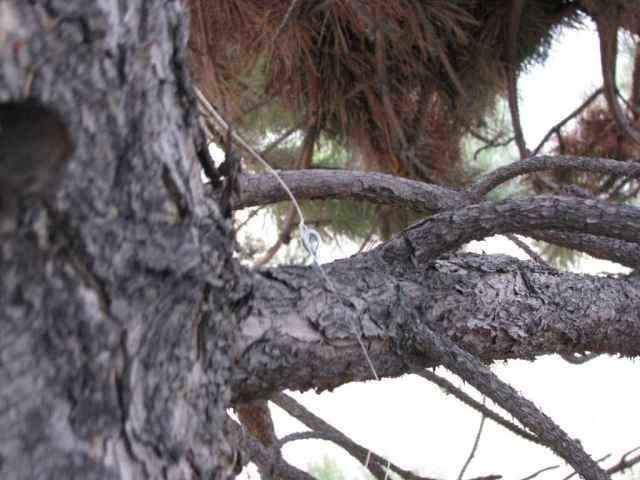 note the eyelet screwed into the tree and the fishing line