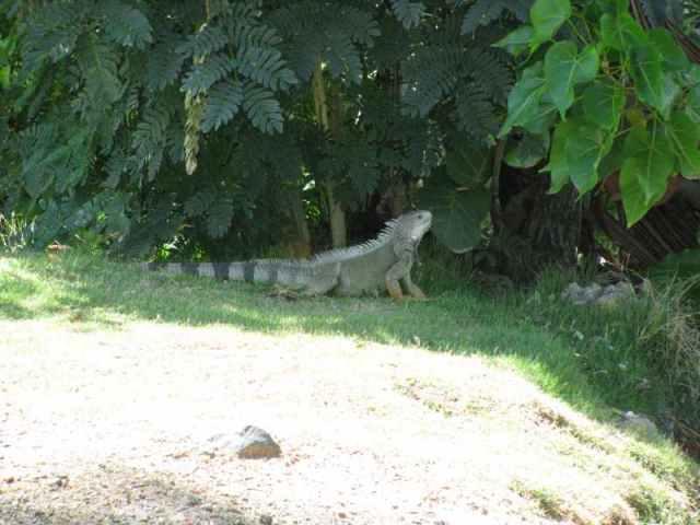 Iguana 3 feet long