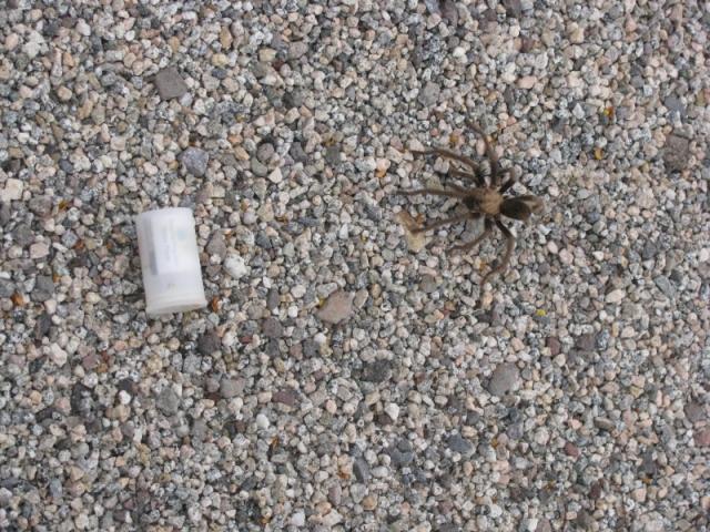 Tarantula  beside 35 mm Film Container