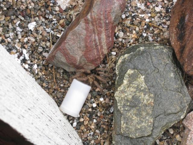 Tarantula guarding cache