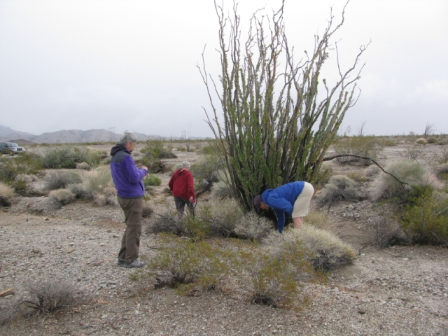 Ocotillo Cactus - why is it caches are always in the middle of these things?