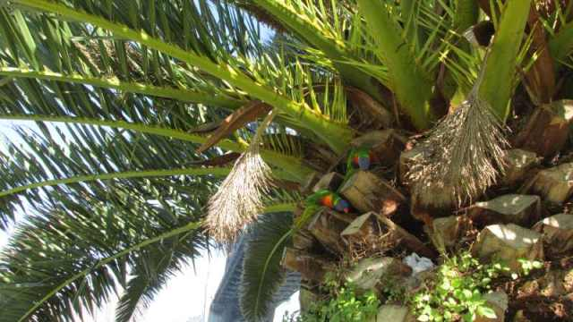 lorikeets in a tree where I thought the geocache was hidden.